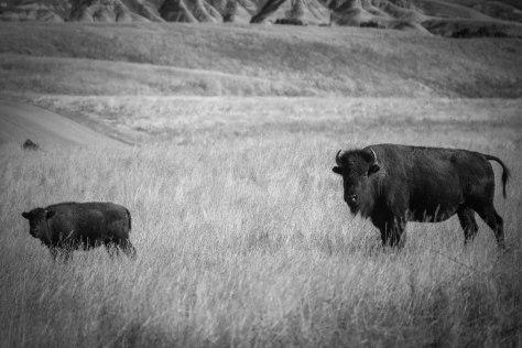 Bison at BADL (2)