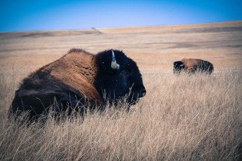 Bison at BADL