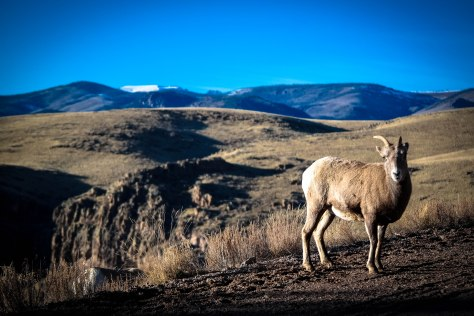 Sheep at Rio Grande NF