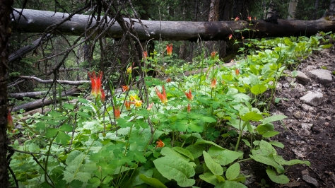 red columbine on frisco trail